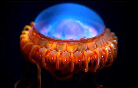 Самые необычные морские существа Медуза Атолла (Atolla vanhoeffeni)
